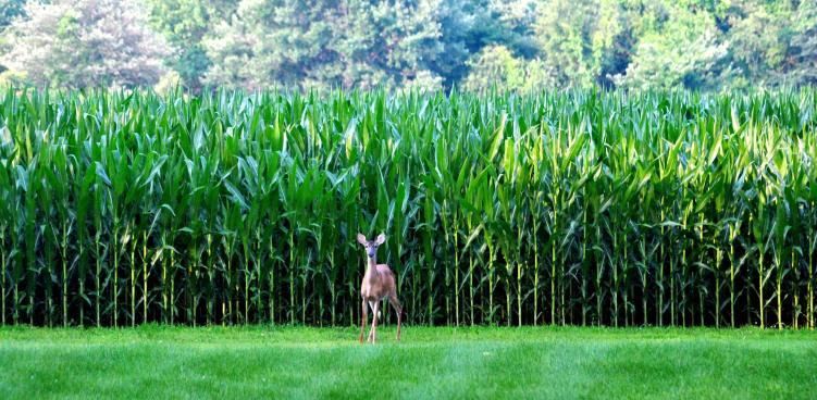july cornfield