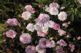 caldwell_pink2