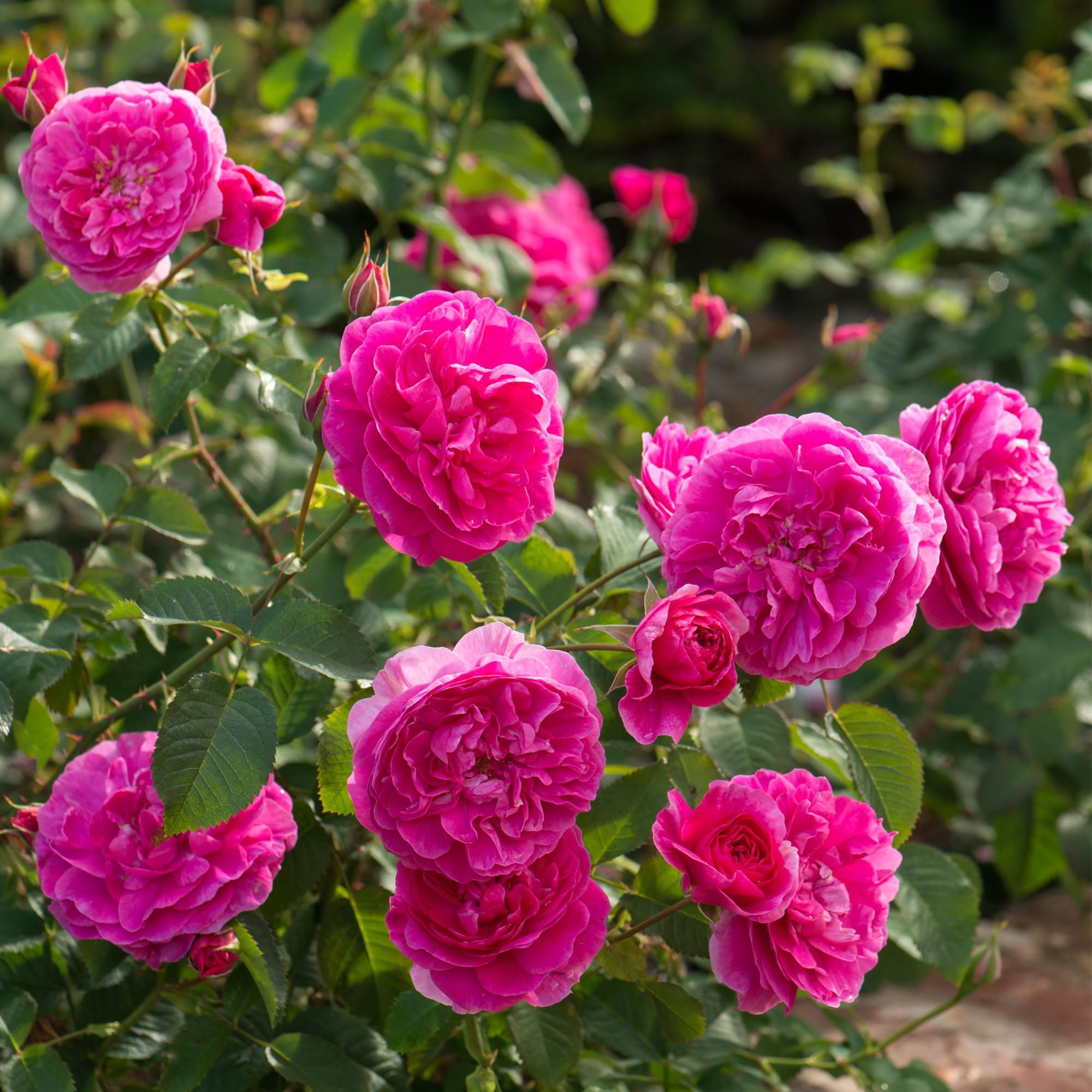 England_s_Rose_2_2